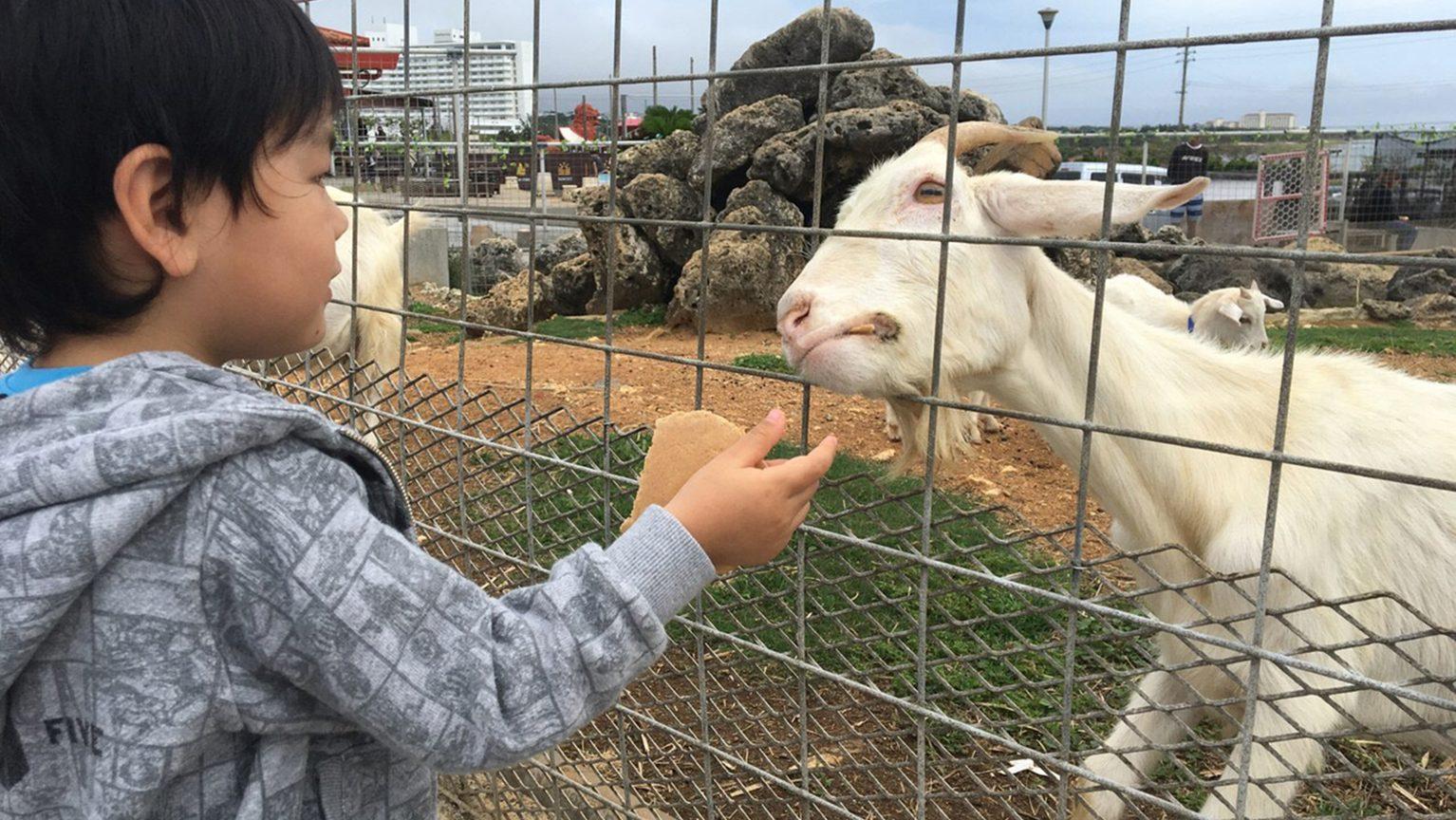ヤギに餌をやる男の子